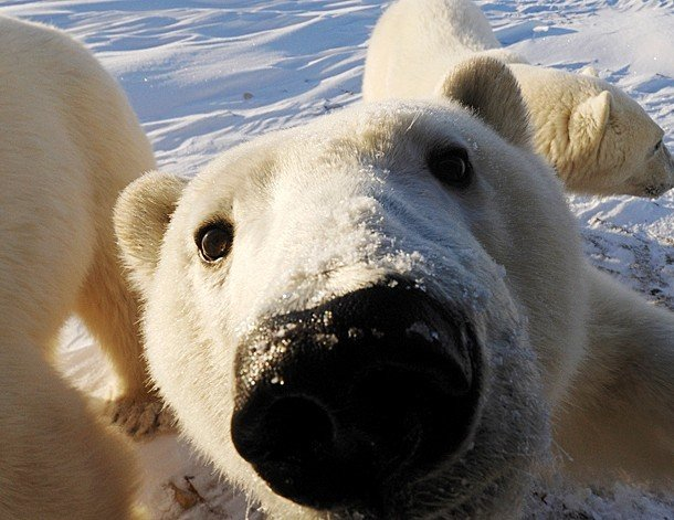 интересные факты о белых медведях