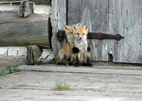 Самые красивые в мире лисицы (20 фото)