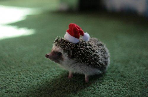 Животные в шапках Санта Клауса (20 фото)