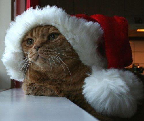 Кошки в шапках Санта-Клауса (10 фото)