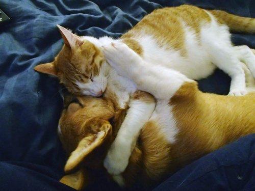 Корги и кот – неразлучные друзья (9 фото + видео)