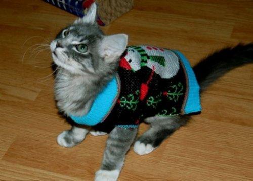 Праздничные кошки в новогодних свитерах (10 фото)