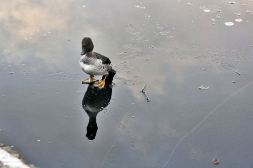 Норвежский парень спас тонущую утку из ледяного плена (7 фото)