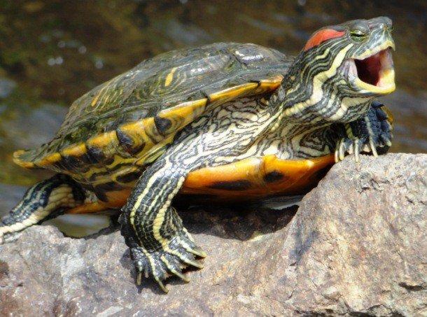 Красноухая черепаха сидит на