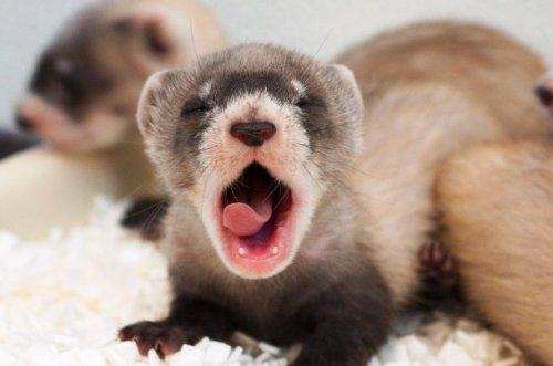 Топ-25: Очаровательные фотографии зевающих животных