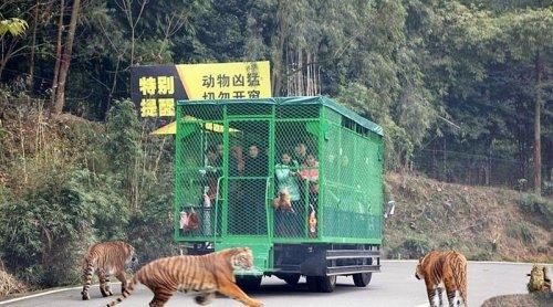 В Китайском зоопарке посетителей закрывают в клетки, чтобы животные могли свободно разгуливать (5 фото)