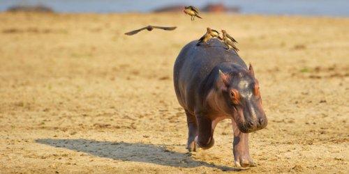 Птицы напугали детёныша бегемота (6 фото)