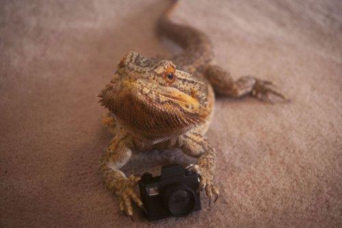 Бородатая агама Прингл, с которой никогда не скучно (15 фото)