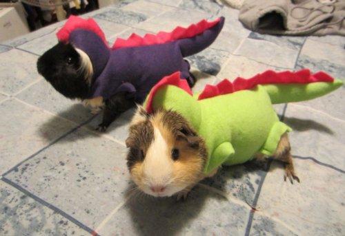Морские свинки в забавных костюмах (10 фото)