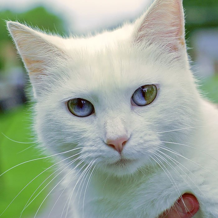 результате такой фото разноглазой кошки знаете, что