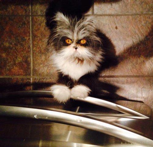 Очаровательный котёнок с устрашающим видом (20 фото)