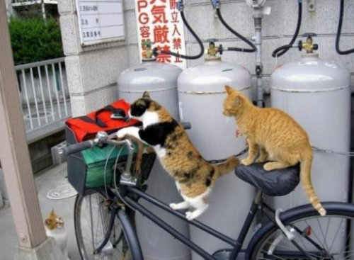Кошки на велосипедах (10 фото)
