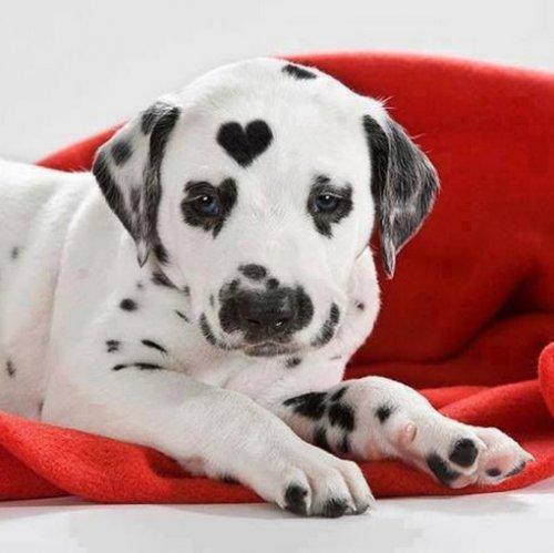 Собаки с сердечками на шерсти (10 фото)