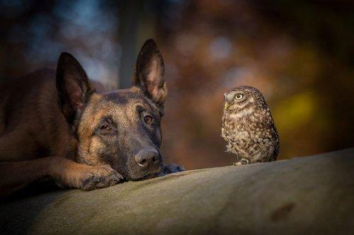 Необычная дружба овчарки Инго и совы Польди (14 фото)
