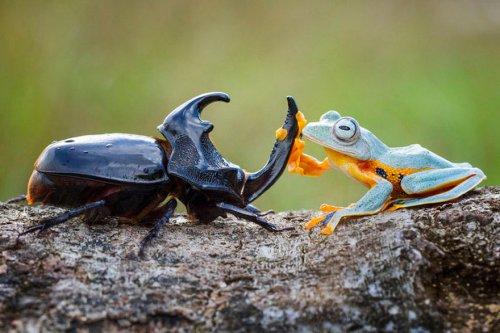 Самое крошечное родео в мире: лягушка верхом на жуке (9 фото)