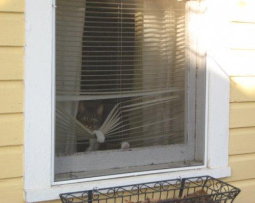 Кошки смотрят сквозь жалюзи (10 фото)