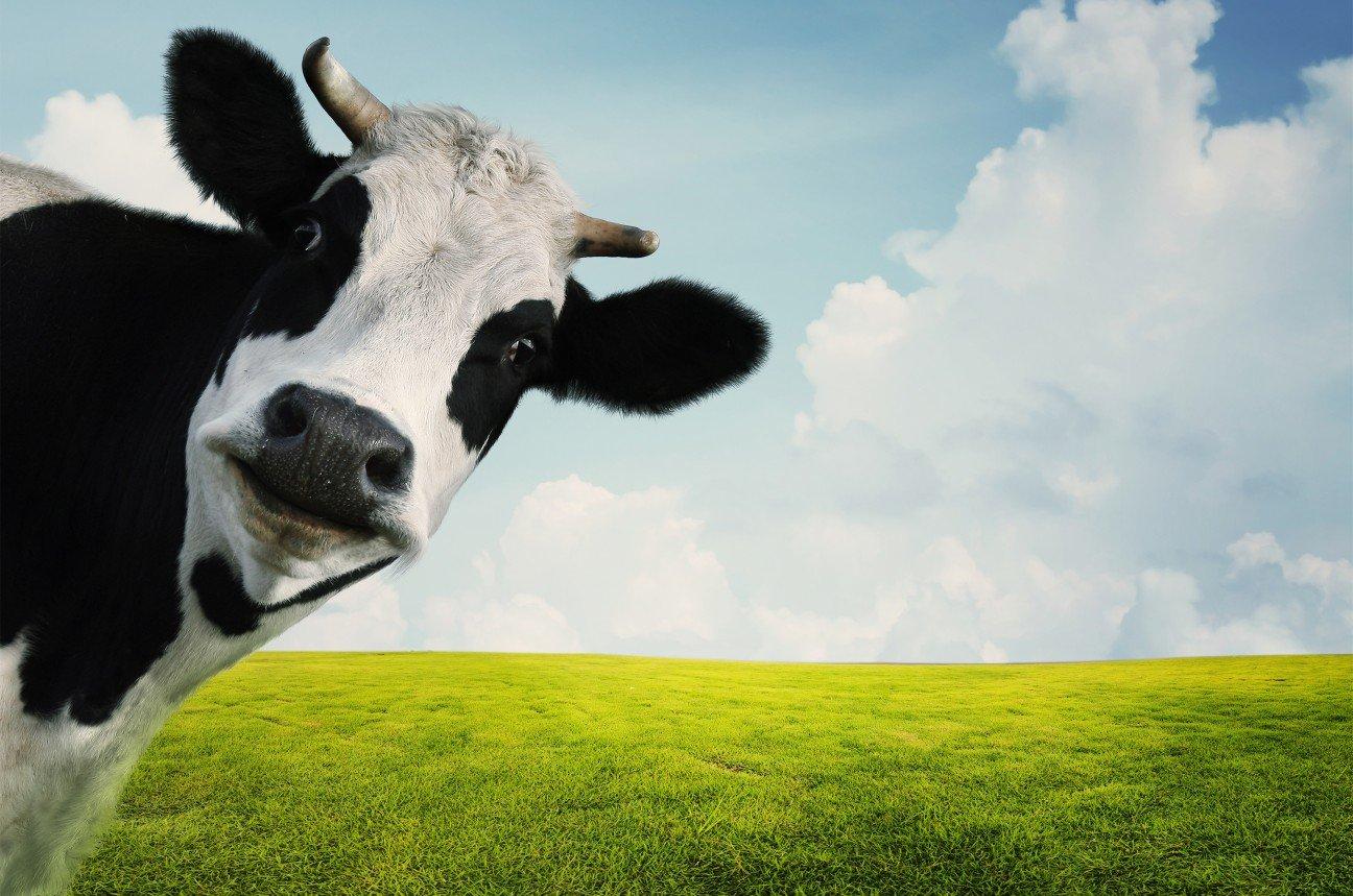 У коровы упал надой летом