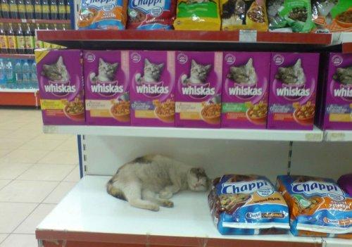 Магазинные кошки (16 фото)