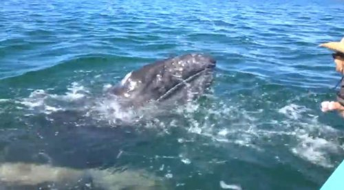 Турист поцеловал детёныша кита