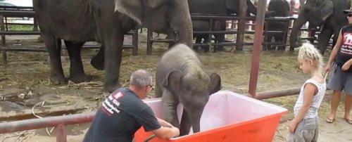Смешной слонёнок во время купания