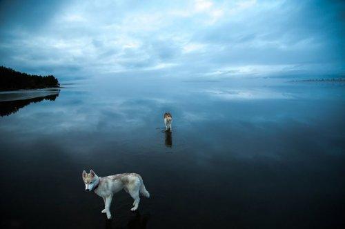 Чарующие фотографии сибирских хаски на зеркальном озере (14 фото)