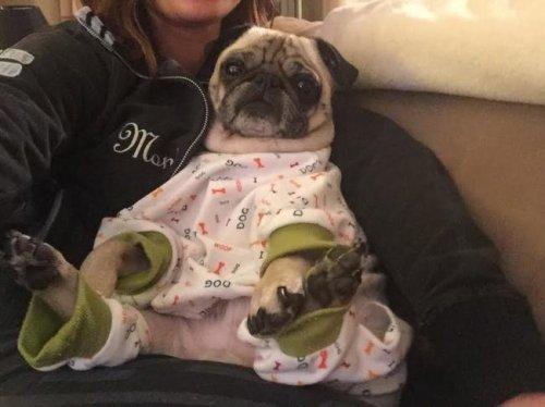 Собаки в пижамах вызывают улыбку (18 фото)