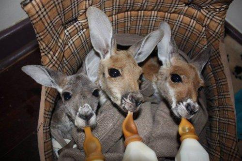 Любящий дом для осиротевших кенгурят (16 фото)