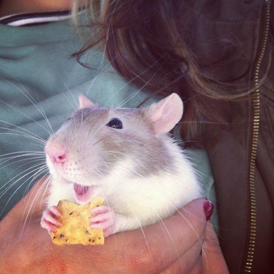 Что едят крысы в домашних условиях 456