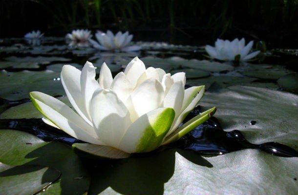 Цветы которые на воде растут
