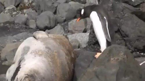 Шок-видео! Пингвин ломает хребет тюленю!