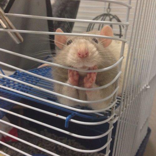 Очаровательные крысы (27 фото)