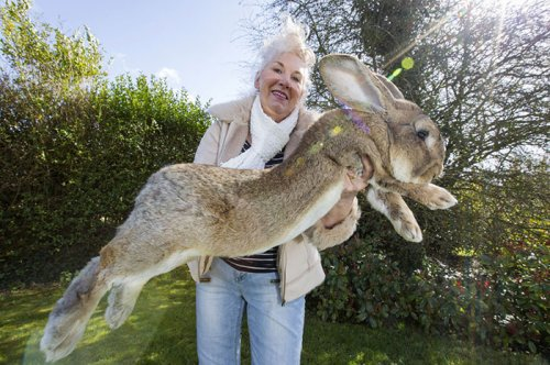Крупнейший в мире кролик Дариус и его соперник, собственный сын Джефф (6 фото)