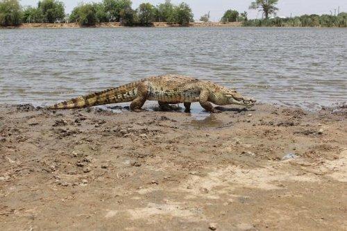 Миролюбивые крокодилы Паги (7 фото)