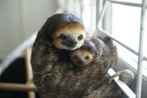 Моник Пул – женщина, которая спасает ленивцев в Суринаме (13 фото)