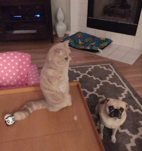 Кот Джордж, который любит стоять на задних лапах (8 фото)
