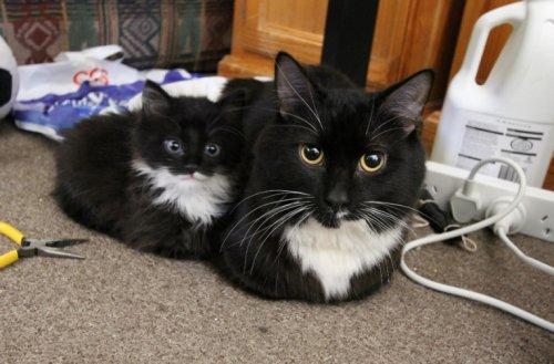 Как две капли: котята и их родители (10 фото)