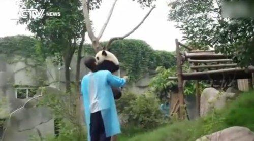 Панда просит обнимашек