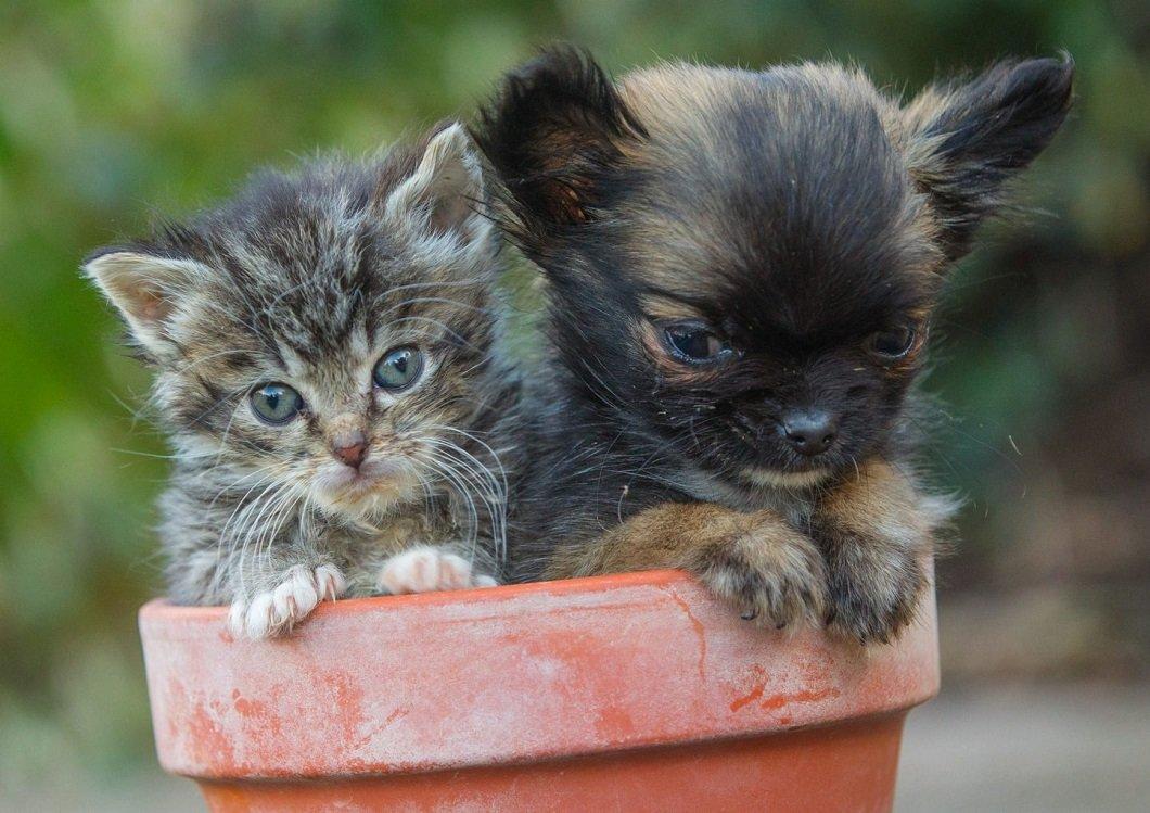 выгодным самый маленький кот в мире картинки терьера короткая