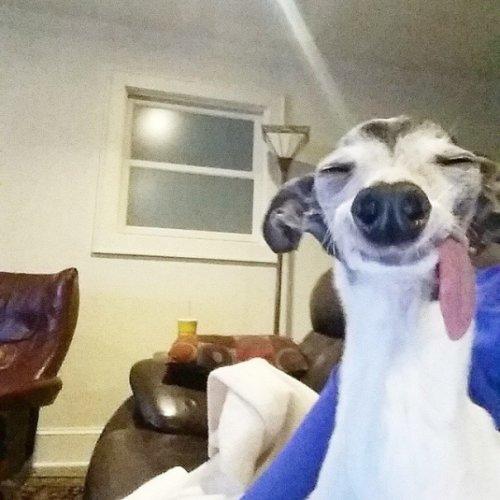 Левретка Заппа с причудливой внешностью (17 фото)