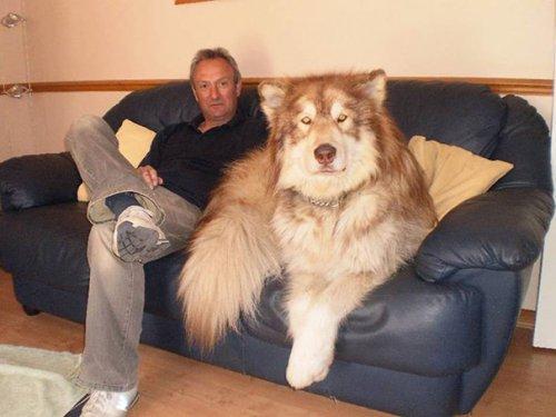 Большие собаки тоже очаровательны (35 фото)