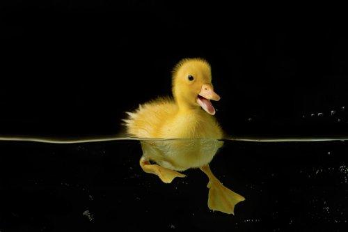 Спортсменка по плаванию и утёнок Пушистик (7 фото)