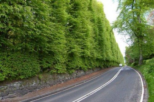Крупнейшая в мире буковая изгородь (5 фото)