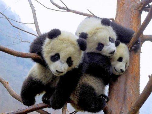 Детёныши панды, которые поднимут вам настроение (23 фото)