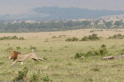 Лев, которому пришлось спасаться бегством от буйволов (6 фото)