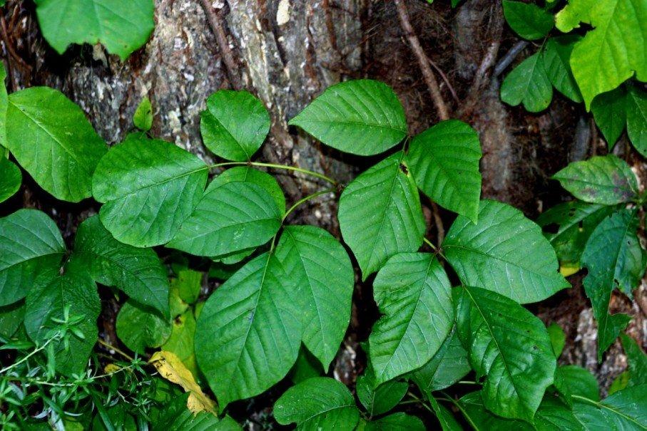 растение плющ ядовитый