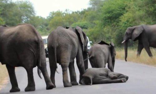 Обессилевший слонёнок упал посреди дороги