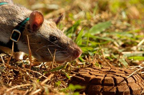 Крысы-герои вынюхивают мины на просторах Африки (12 фото)