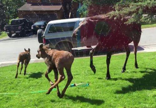 Семья лосей, спасённая от жары, веселится на лужайке (фото + видео)