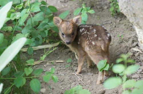 Крошечный оленёнок пуду родился в нью-йоркском зоопарке (3 фото + видео)