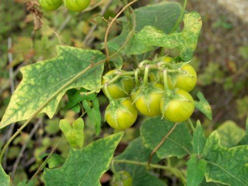 Топ-10: Ядовитые растения, которые выглядят съедобными